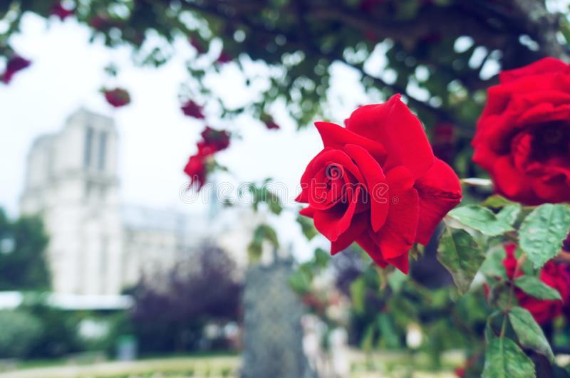 Red rose and church background stock photo