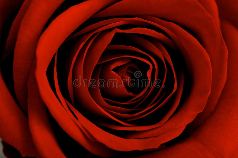 Download Red rose close-up stock image. Image of heart, life, love - 12493979