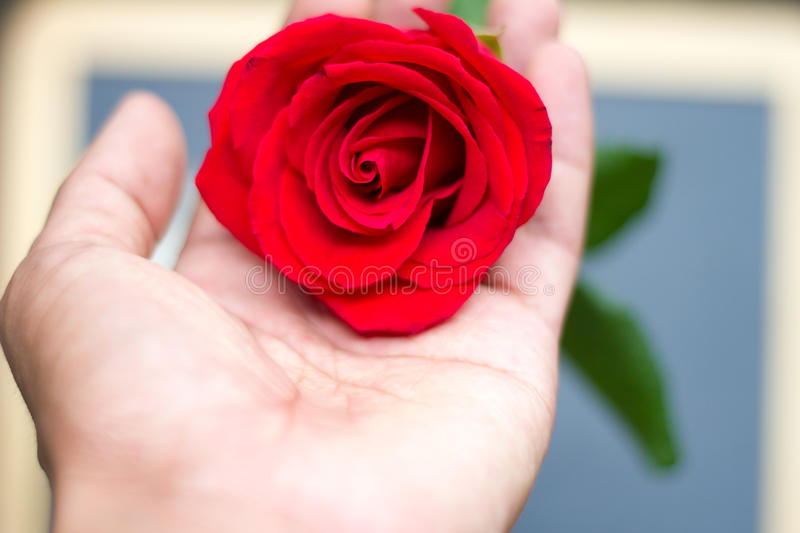 Red rose close up on human hand valentines day. Red rose close up on human hand stock photos