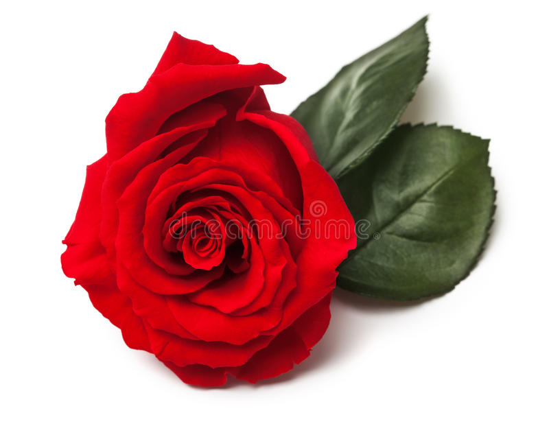 Red Rose. Close-up over white background. Green leaves. Beauty, love and Valentine's Day concept stock photo