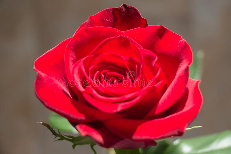 Red rose close up. Top view of red rose bud opening royalty free stock photos