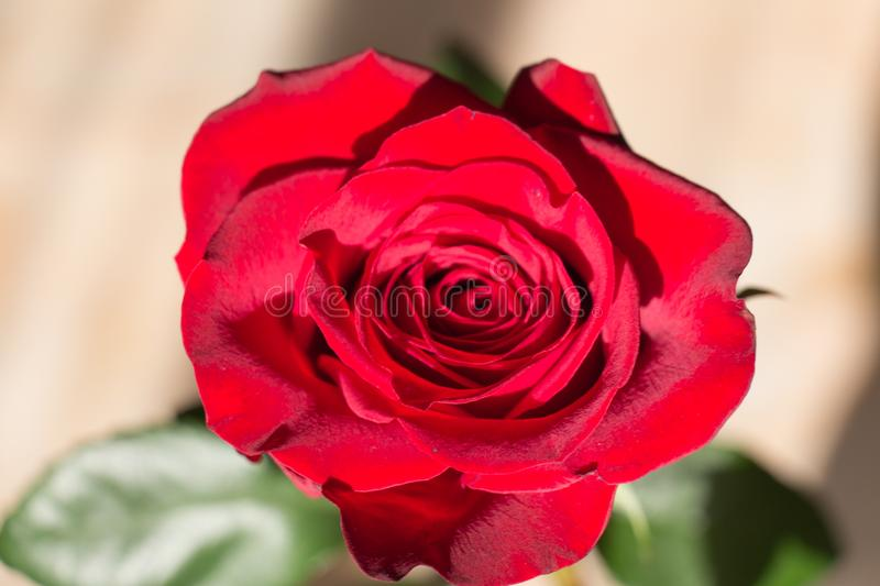 Red rose close up. Top view of red rose bud opening royalty free stock photo