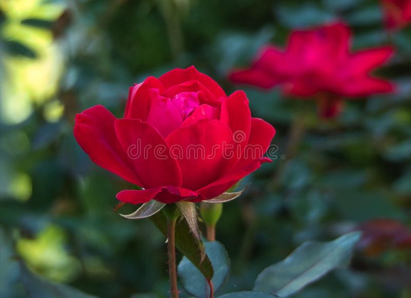Red Rose Close Up - Variety Knockout. A close up detailed view of a red Knockout Rose with bokeh background stock photo