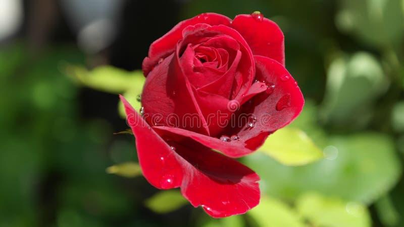 Red rose closeup stock photos