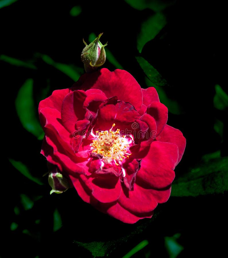 Red rose  closeup with dark green leaf background royalty free stock images