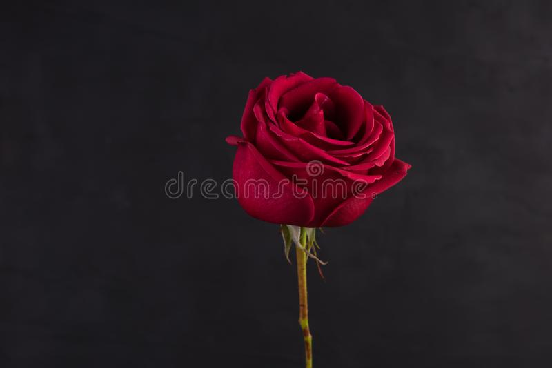 Red rose closeup foto isolated on black. Background royalty free stock image