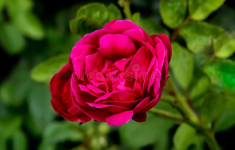 Red rose closeup shot with blurred green leaves royalty free stock photos