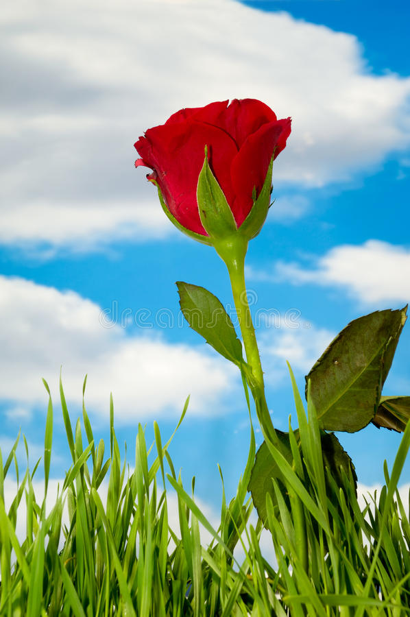 Red rose and clouds. Red rose and green grass with blue sky and clouds in the background stock photography