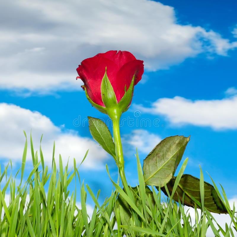 Red rose and clouds. Red rose and green grass with blue sky and clouds in the background royalty free stock photos