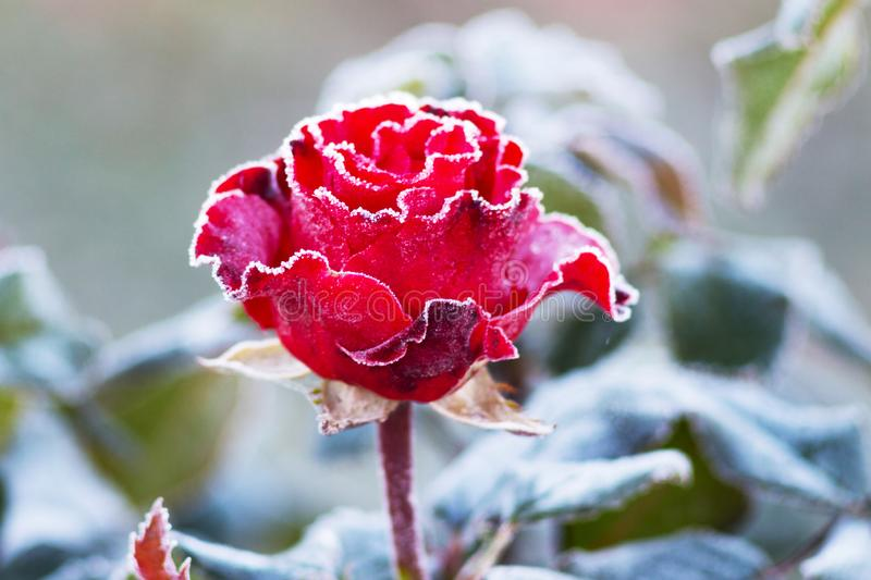 Red rose in the cold. Frost on the flowers. First frosts_. Red rose in the cold. Frost on the flowers. First frosts stock photos