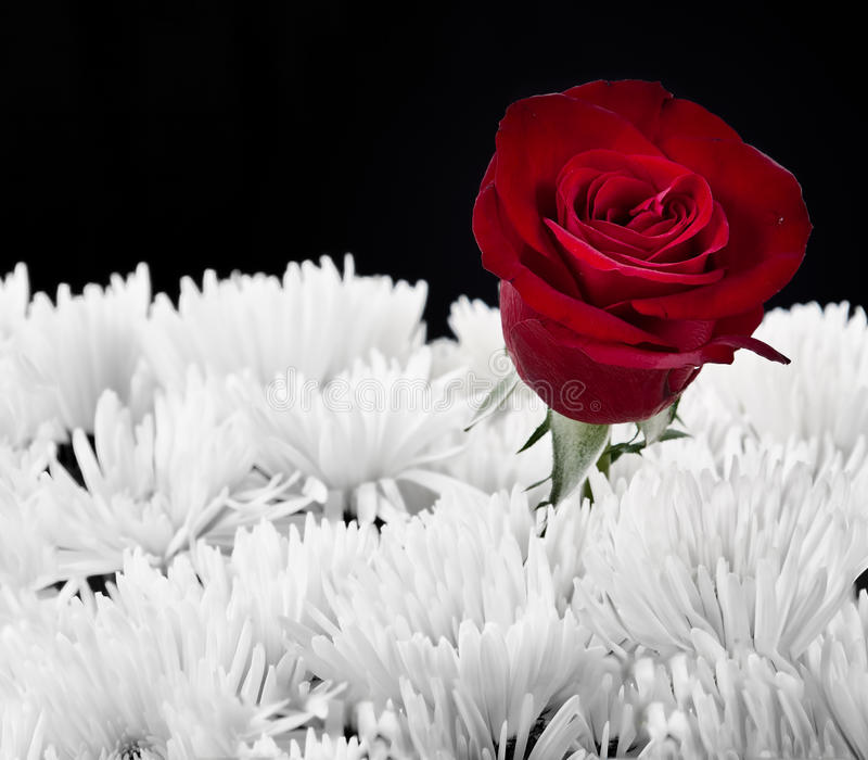 Red rose contrast in white bouget