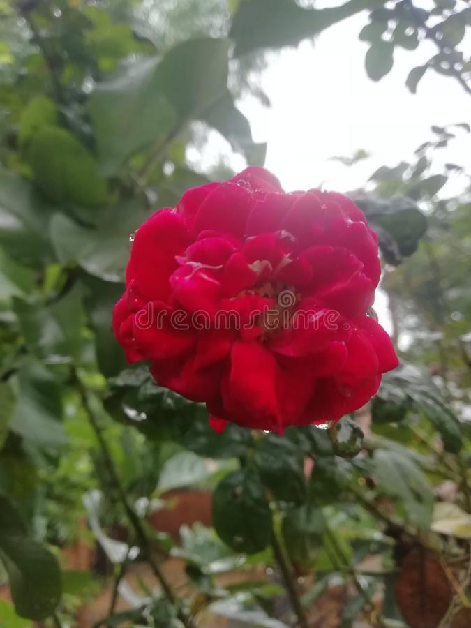 Red rose with dark green leaves stock images