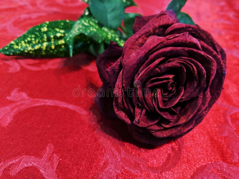 Dark red rose on red cloth royalty free stock photography