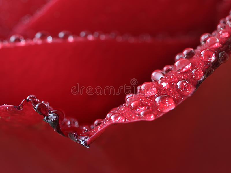Red rose detail. Colors to create a style with active red rose. close up rose royalty free stock photos