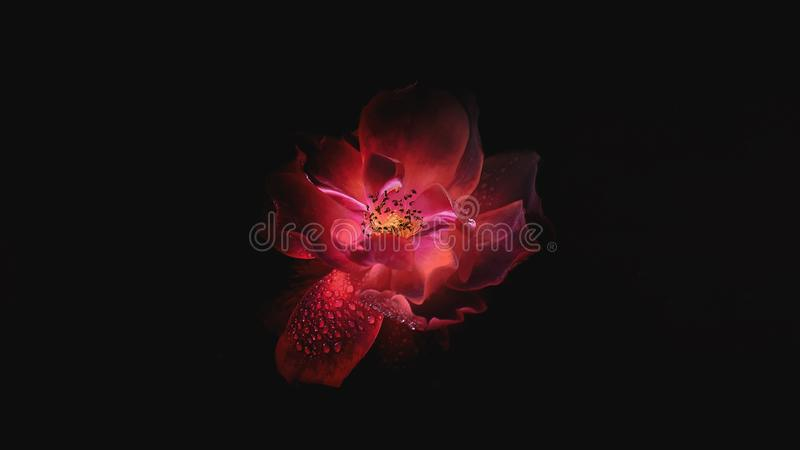 Red rose with dew drops royalty free stock photos