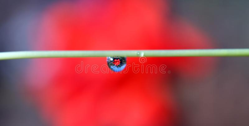 A red rose through a drop of rain royalty free stock image