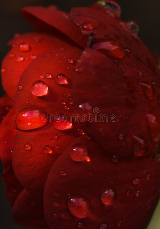 Red rose with drops. Dark red rose with raindrops and early morningsun royalty free stock photography