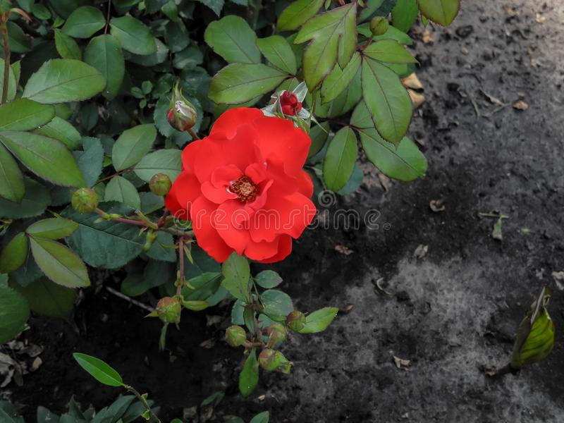 Red rose with drops of dew on green leaves ang ground background. stock photo