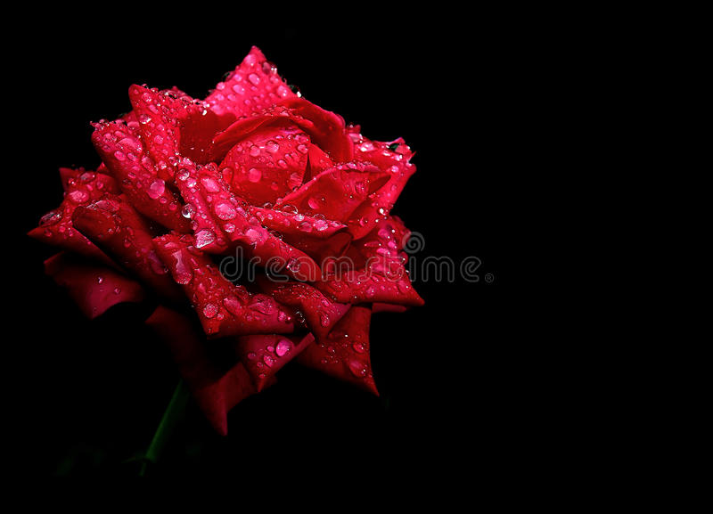 Download Red Rose Drops Dew Isolated Stock Image - Image: 26201281