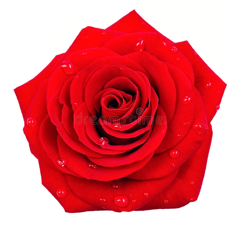 Red rose. With drops isolated on white background stock photography