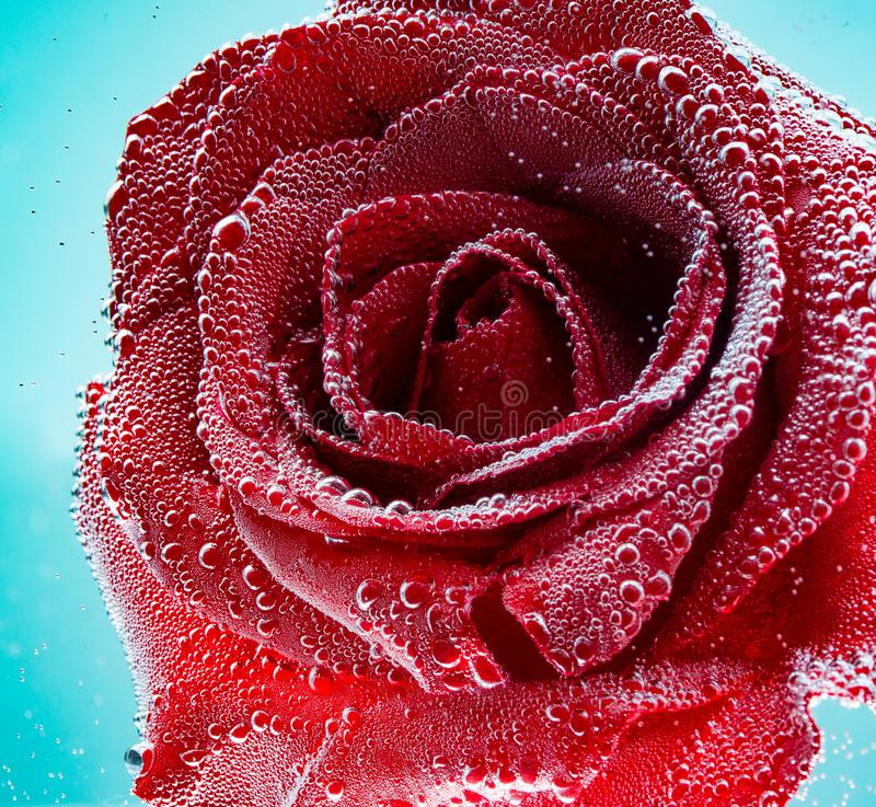 Red rose with drops of water close-up, macro on a blue background .Holiday birthday or Valentine`s day. Square photo royalty free stock photography