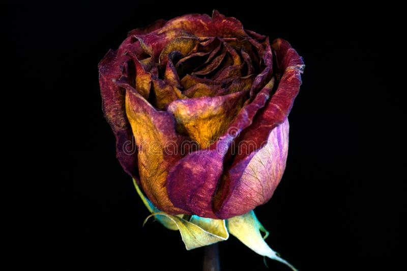 Red1 Rose Dry arkivbilder