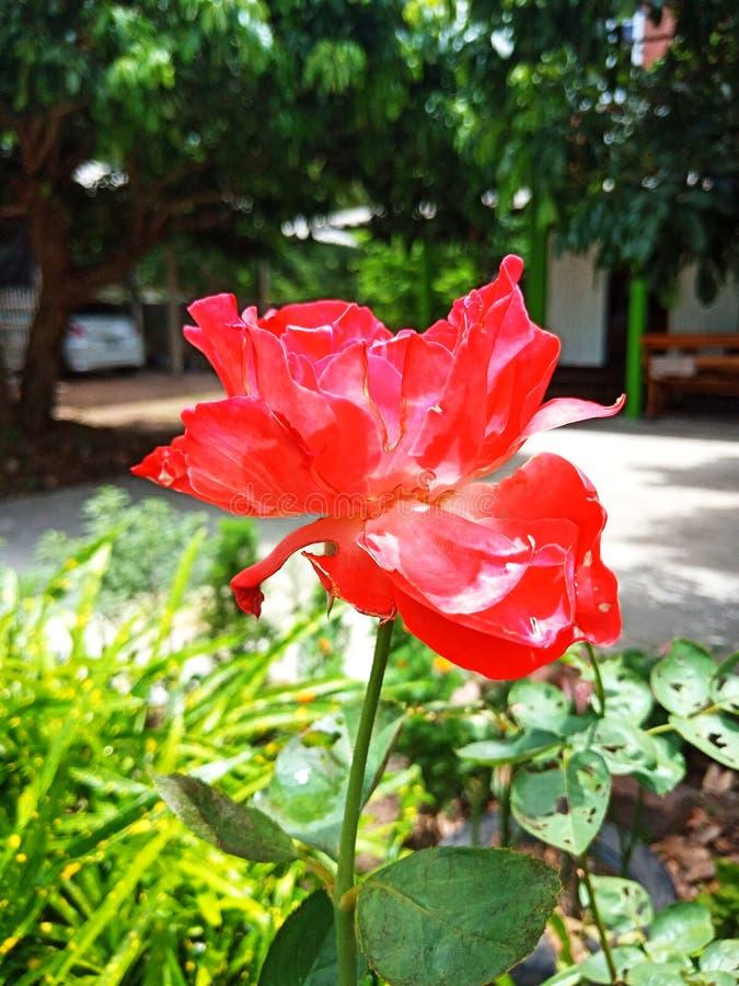 Red Rose en bladeren met gescheurde blaadjes omdat ze door insecten werden gegeten royalty-vrije stock foto