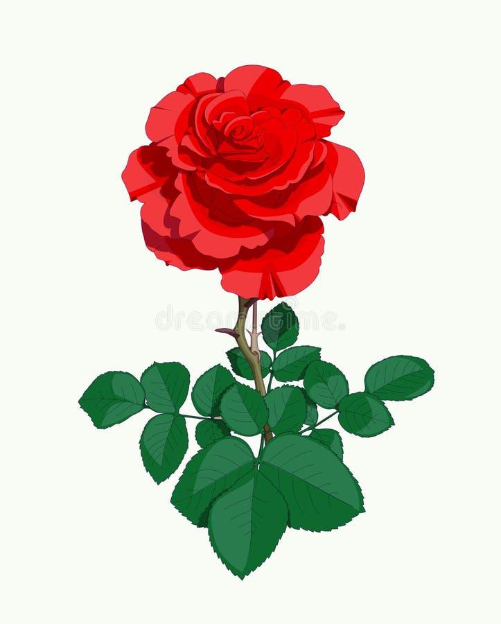 Red Rose Stock Illustration