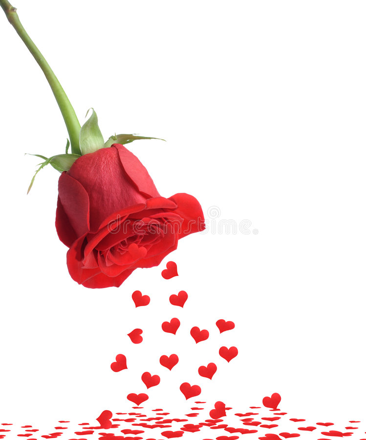 Red rose and fall heart. It is isolated on a white background royalty free stock photography