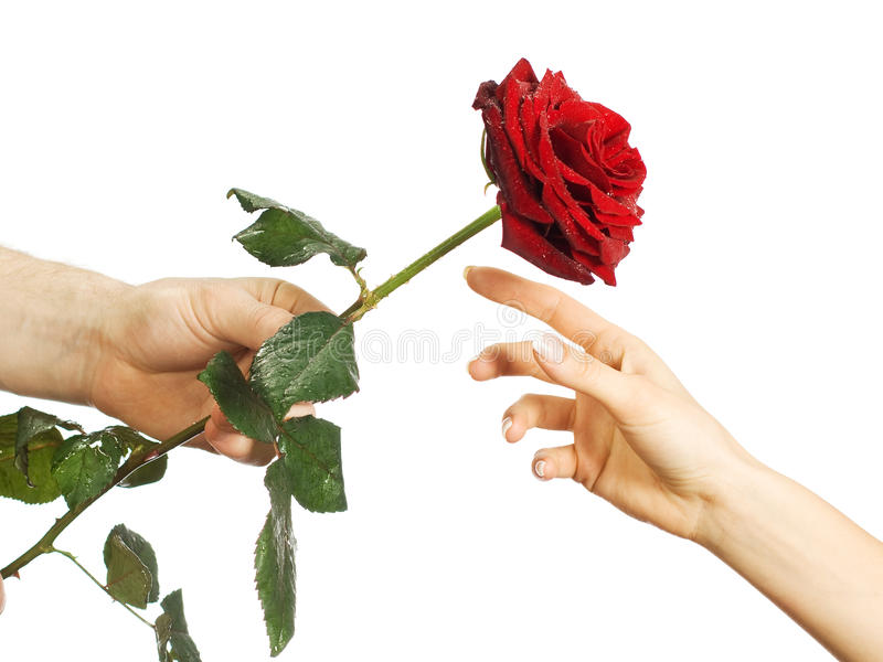 Red rose in female and man's hands royalty free stock photo