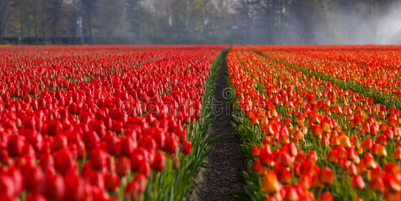 Red Rose Field stock images