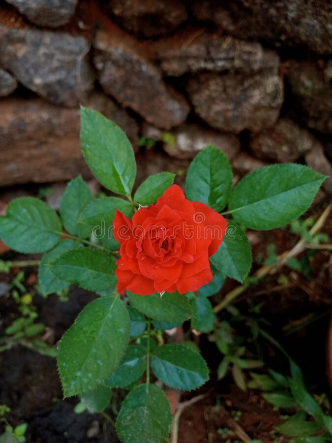 Red rose flower in my field stock photos