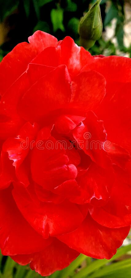 Red Rose Flower Best for Layout Design, Poster, Postcard, and Background Wallpaper stock photo