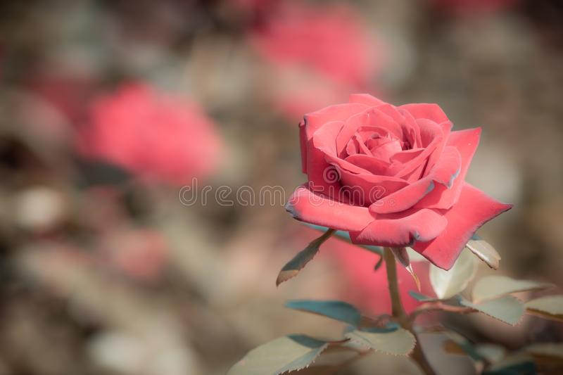 Red rose flower bloom on a background of blurry red roses in a roses garden.  royalty free stock images