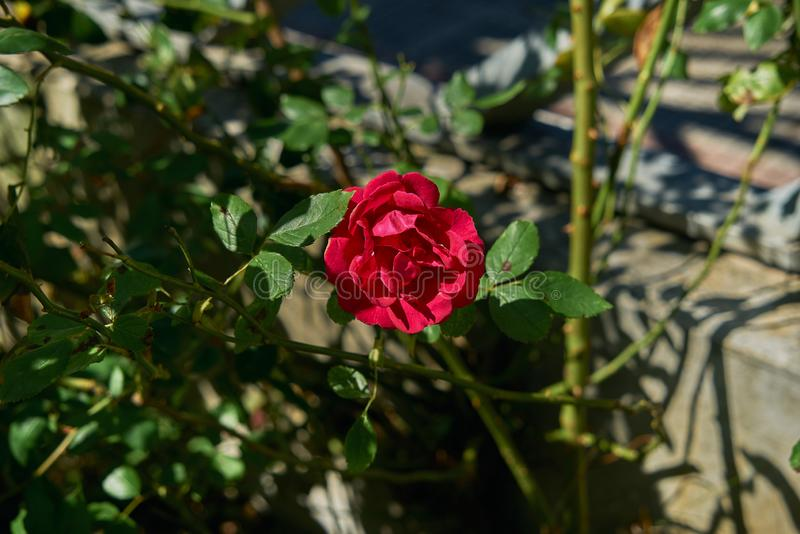 Red rose flower blooming in roses garden on background red roses flowers. Leaf, nature, blossom, pattern, natural, bouquet, delicate, floral, stem, bush royalty free stock photography