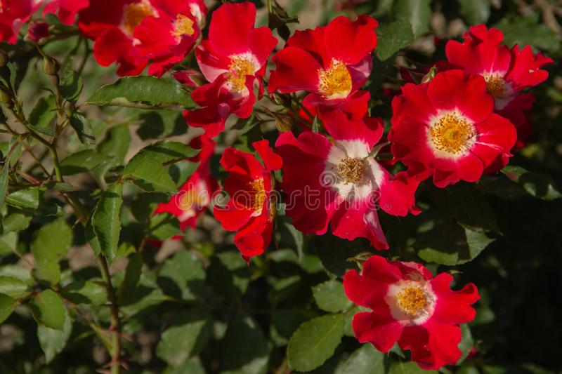 Red rose flower blooming in roses garden royalty free stock images