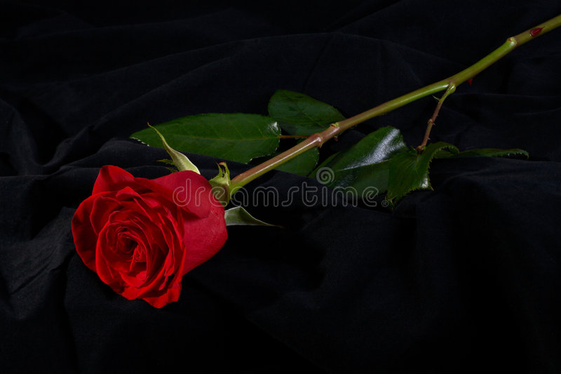Red rose flower blossom on black royalty free stock image