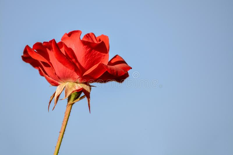 Red rose flower blossom macro closeup beauty bloom nature petals details with light blue sky background stock photos