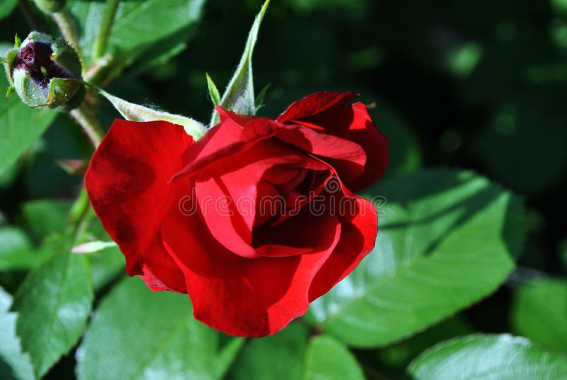 Red rose flower bud blooming on bush, dark green leaves background. Top view stock images