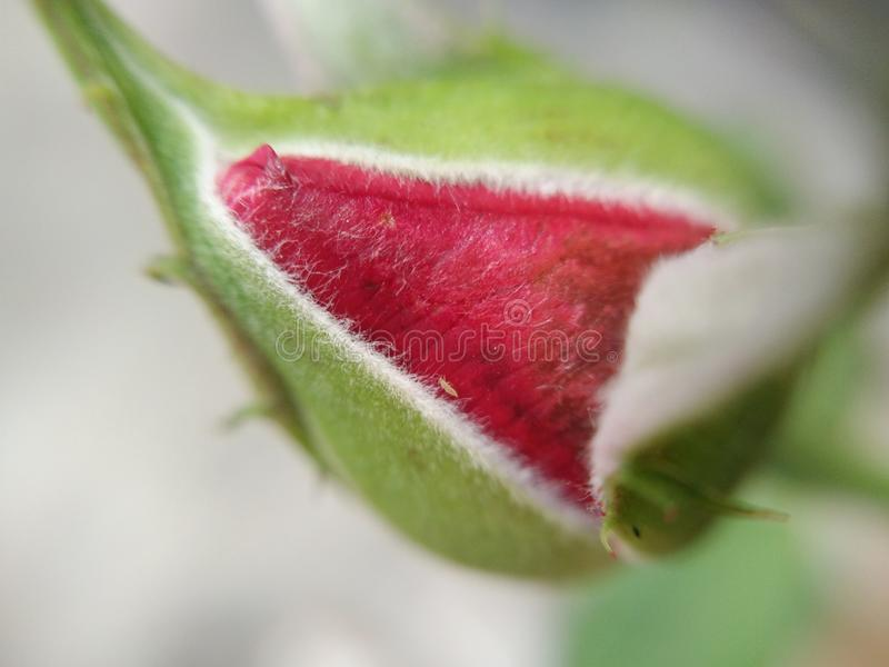 Red rose flower bud, tiny aphid pest on petal, macro stock photo