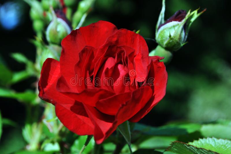 Red rose flower and buds blooming on bush, dark green leaves background, close up royalty free stock photos