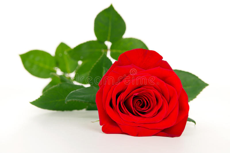 Red rose flower close-up royalty free stock images
