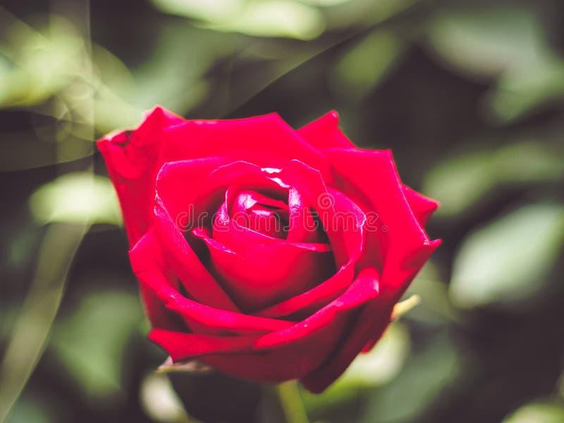 Red Rose Flower close up background. Beautiful Dark Red Rose closeup. Symbol of Love. Valentine card design blur green nature stock photo