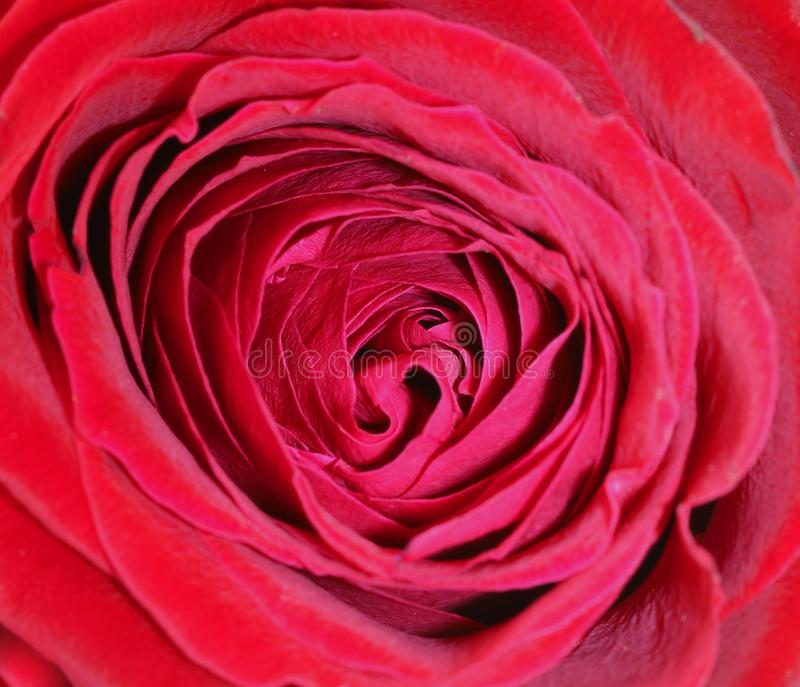 Red rose flower, close up stock image