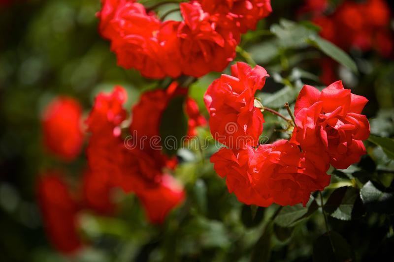 Red rose flower close-up. Closeup of a cultural flower of a trickling rose. Petals red, inflorescences of several buds. Plant in nature and gardening royalty free stock images