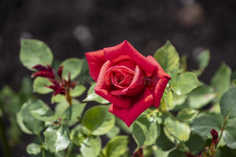 Red rose flower closeup. Shallow depth of field, blurred background.  stock photos