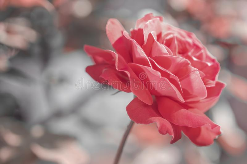 Red rose flower closeup in summer garden in pink monochrome style.  royalty free stock photography