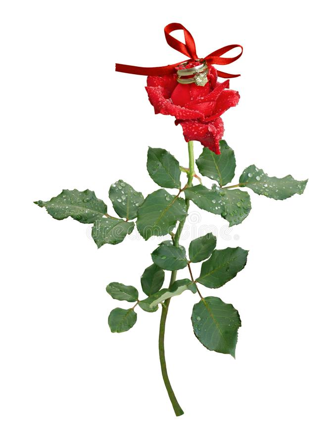 Red rose flower with drops of water stock photo