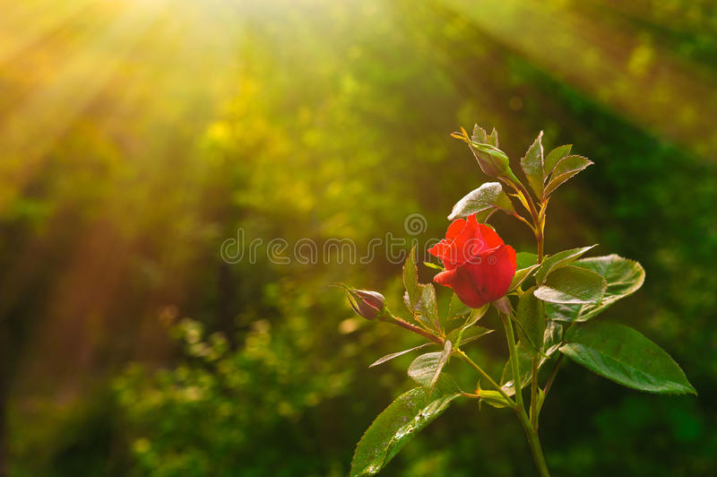 Red rose flower. In garden stock photography