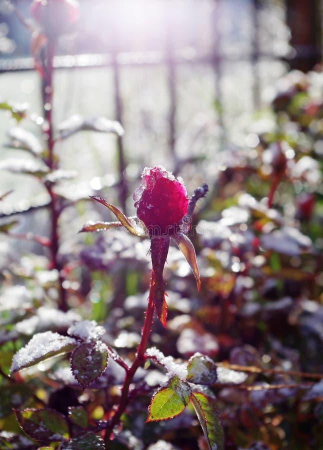 Red rose flower in garden stock images